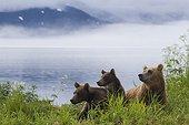 Brown bear and young - Kurile Lake Kamchatka Russia