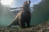 Brown bear in water - Kurile Lake Kamchatka Russia