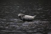 Larga seal in water - Kamchatka Russia