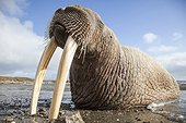 Pacific Walrus on shore - Chukotka Russia