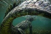 American saltwater crocodile under water - Caribbean sea Highlight Asferico 2015