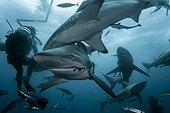 Blacktip sharks group and diver