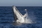 Humpback Whale outgoing water - Indian Ocean