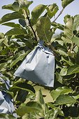 Protection paper over apples on the tree in a garden
