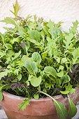 Wild salads in pot on a garden terrace