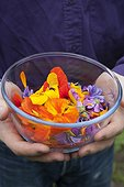 Harvest of edible flowers