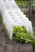 Lettuces under a hard plastic tunnel in a garden
