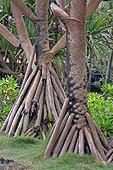 Trunks and aerial roots of Common Screwpine - Reunion