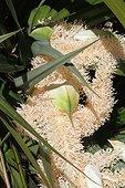 Pandanus inflorescence - Mascarin garden Reunion