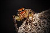 Orange faced jumper spider - Australia