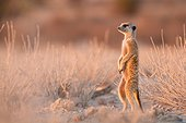 Meerkat keeping vigilant at dawn - Kalahari South Africa
