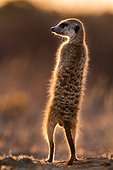 Meerkat sunning at dawn - Kalahari South Africa