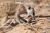 Meerkat catching a millipede - Kalahari South Africa ; Meerkat process millipedes by rubbing them in the sand to remove toxins before eating them.