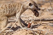 Meerkat eating a millipede - Kalahari South Africa ; Meerkat process millipedes by rubbing them in the sand to remove toxins before eating them.