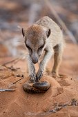 Meerkat capturing a Millipede - Kalahari South Africa ; Meerkat rubbing a large Millipede in the sand to remove excreted toxins before eating