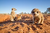 Meerkat pup with the babysitter - Kalahari South Africa ; Meerkat pup with the babysitter in the background.