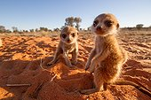 Meerkat pups - Kalahari South Africa