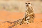 Meerkat babysitting - Kalahari South Africa