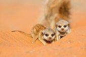 Meerkat babysitting - Kalahari South Africa