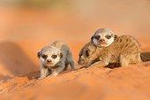 Young Meerkats - Kalahari South Africa