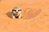 Young Meerkat - Kalahari South Africa