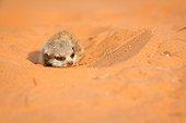 Sleepy young Meerkat - Kalahari South Africa