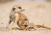 Meerkat with a very young pup - Kalahari South Africa ; An adult Meerkat with a very young pup on it's first day out of the burrow