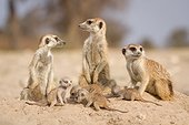 Meerkats with very young pups - Kalahari South Africa ; An adult Meerkat with a very young pup on it's first day out of the burrow