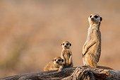 Meerkat babysitting pups - Kalahari South Africa