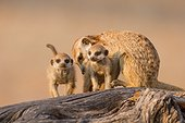 Meerkat babysitting pups - Kalahari South Africa
