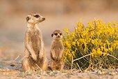 Meerkat babysitting pup - Kalahari South Africa