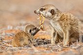 Meerkat feeding a pup - Kalahari South Africa ; Meerkat feeding a dead scorpion to a young Meerkat pup