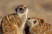 Meerkats allogrooming - Kalahari South Africa