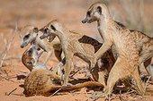 Meerkats play fighting - Kalahari South Africa