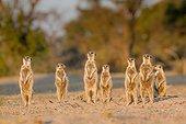 Suricates se réchauffant - Kalahari Afrique du Sud ; aux derniers rayons du soleil avant de retourner à leur terrier.