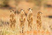 Meerkats alert - Kalahari South Africa ; Meerkat group alert for predators in evening light.