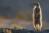Sentinel Meerkat - Kalahari South Africa ; sentinel Meerkat standing guard on the lookout for predators.