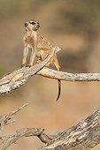 Sentinel Meerkat on tree - Kalahari South Africa