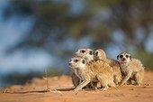 Meerkat group on a predator alert - Kalahari South Africa