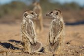 Meerkats sunning in morning light - Kalahari South Africa