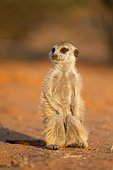 Meerkat sunning in morning - Kalahari South Africa