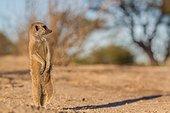 Meerkat sunning in morning - Kalahari South Africa