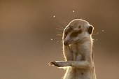 Meerkat getting distracted by flies - Kalahari South Africa