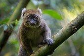 Greater Bamboo Lemur in rainforest - Madagascar
