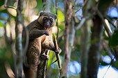Golden Bamboo Lemur eating Bamboo - Madagascar