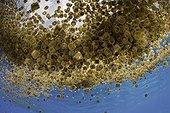 Bloom de Méduses dé à coudre - Ile Cabilao Philippines