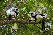 Black-and-white Ruffed Lemur on a branch - Madagascar