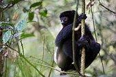 Milne-Edward's Sifaka in forest - Ranomafana Madagascar