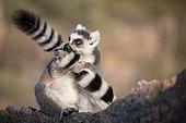 Ring-Tailed Lemur - Anja Community Reserve Madagascar