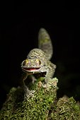 Mossy leaf-tailed Gecko in a defensive position - Madagascar ; When disturbed these geckos arch their back and tail and gape their mouth.